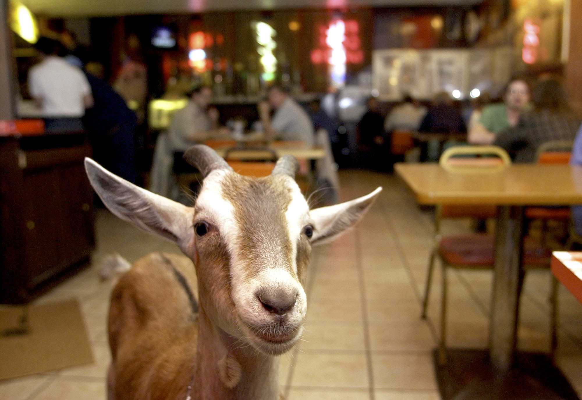 Billy Goat wanders around the Billy Goat Tavern in Chicago Thursday, Oct. 16, 2003. Many fans of the Chicago Cubs blame the curse of the Billy Goat for the team's 9-6 loss to the Florida Marlins in the final game of the NL Championship series.(AP Photo/Steve Matteo) ORG XMIT: CXSM102